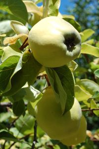 Vered Quinces