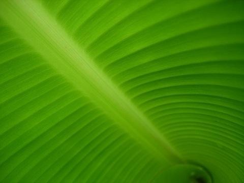 banana_leaf_rib