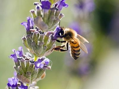 bee-lavender1.jpg
